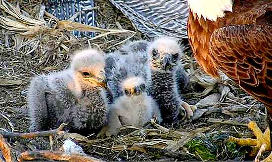 "The three eaglets at the Decorah ""North Nest"" earlier this spring."